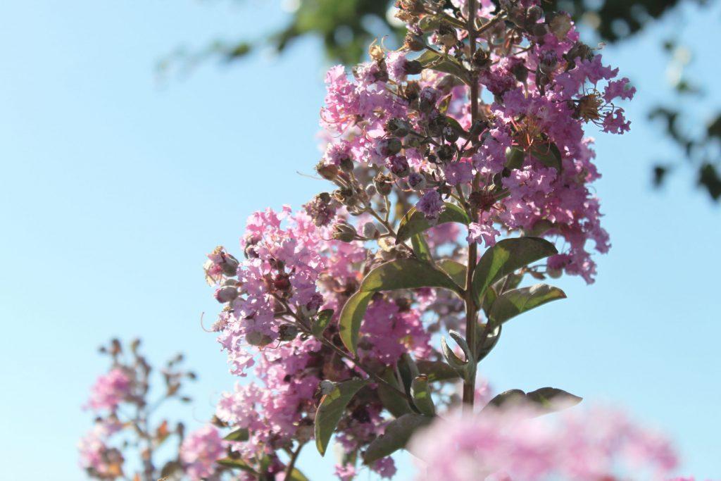 fleurs 1 lilas