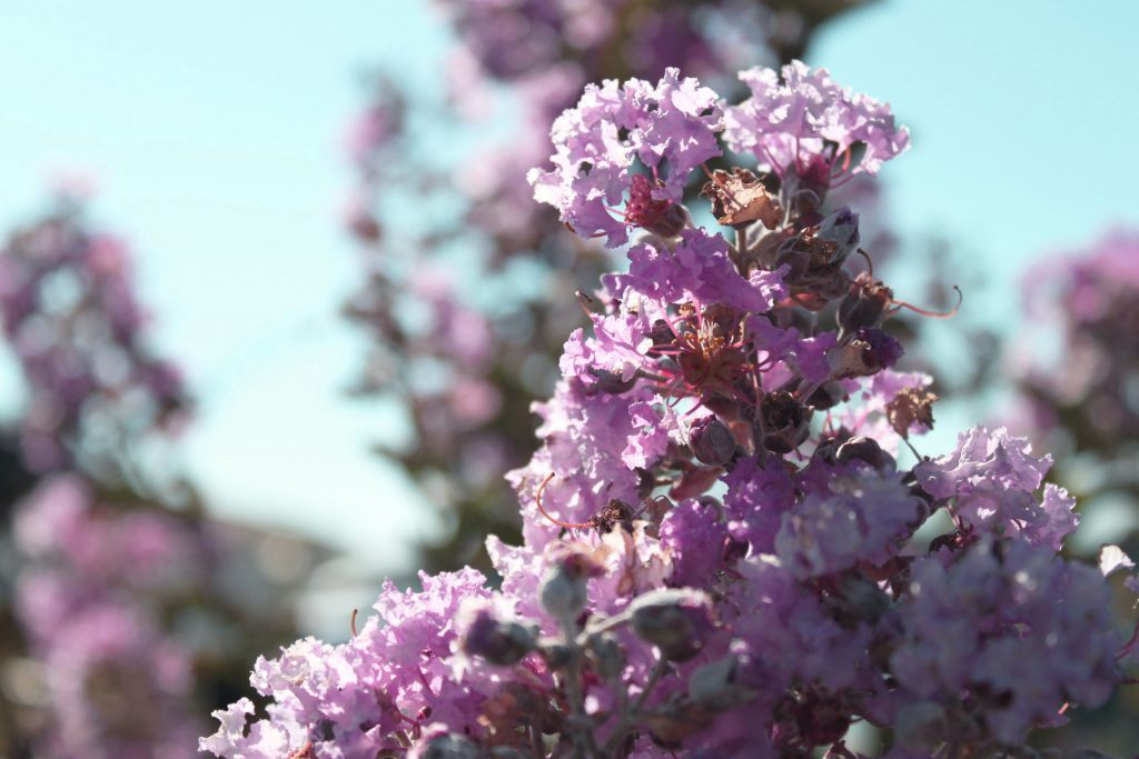fleurs 2 lilas 2