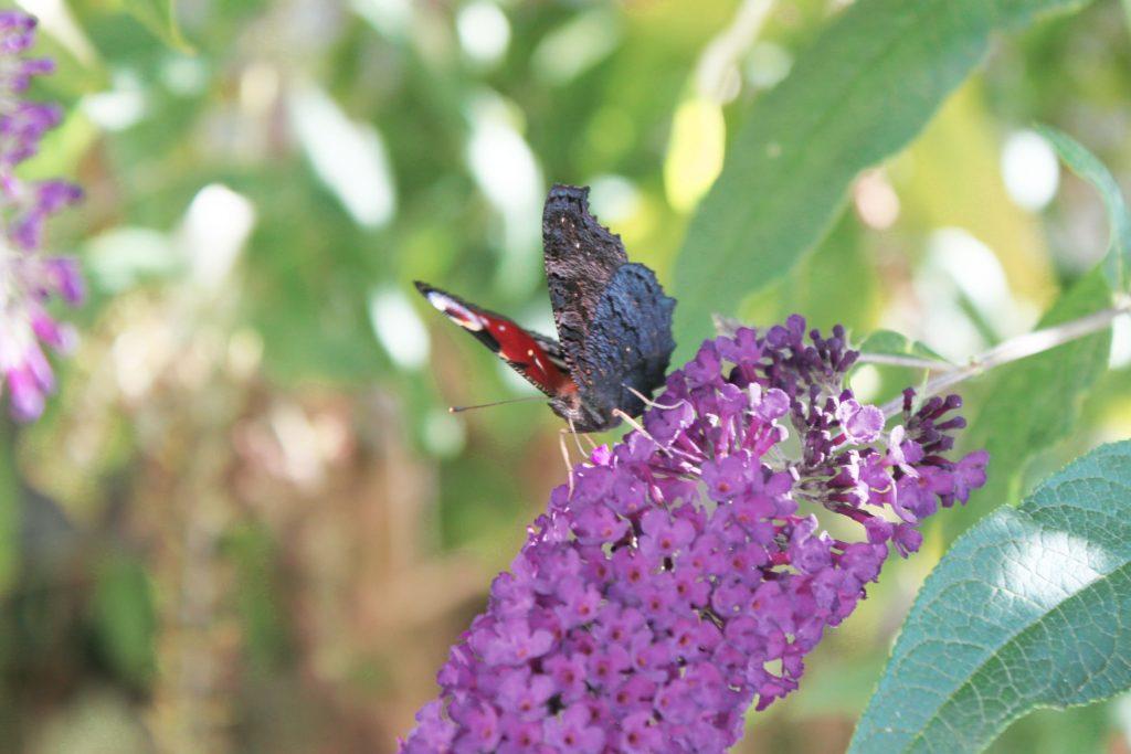 papillon lilas 2