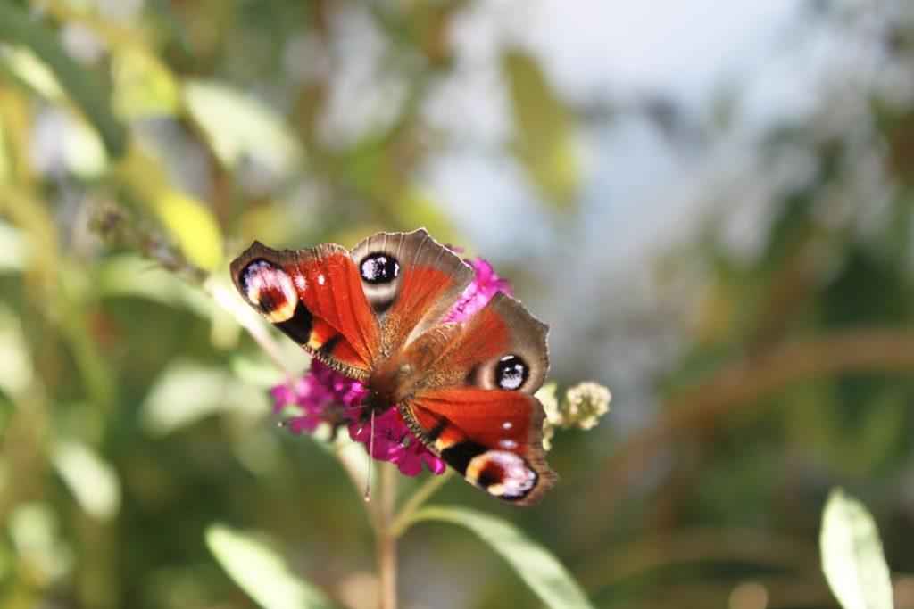 papillon-cm