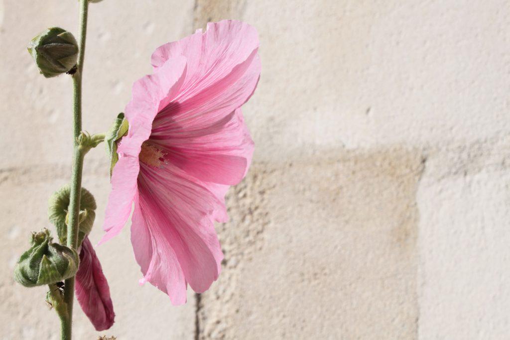 rose-rose-brouage